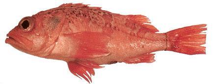 Sea perch for Sea perch fish